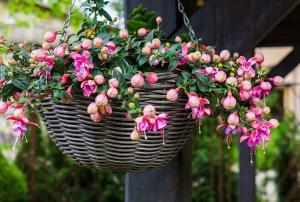 can fuchsias grow indoors
