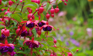 can fuchsias grow indoors